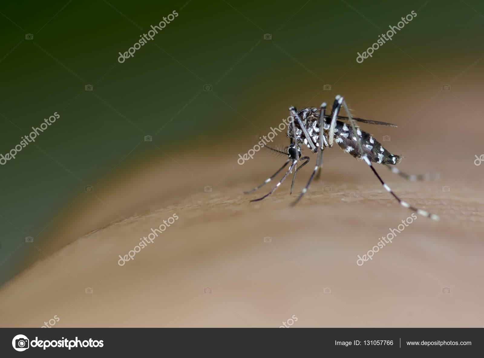 Elemento portante di zanzara Aedes di febbre dengue, virus
