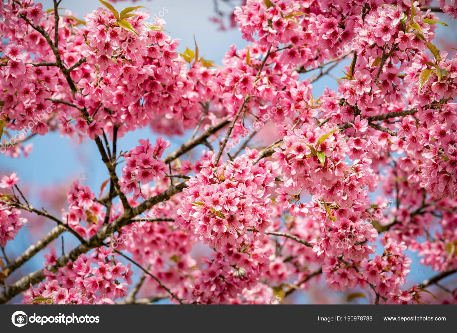 Pink sakura flowers of thailand blooming in the winter with sele pink sakura flowers of thailand blooming in the winter with sele stock photo mightylinksfo