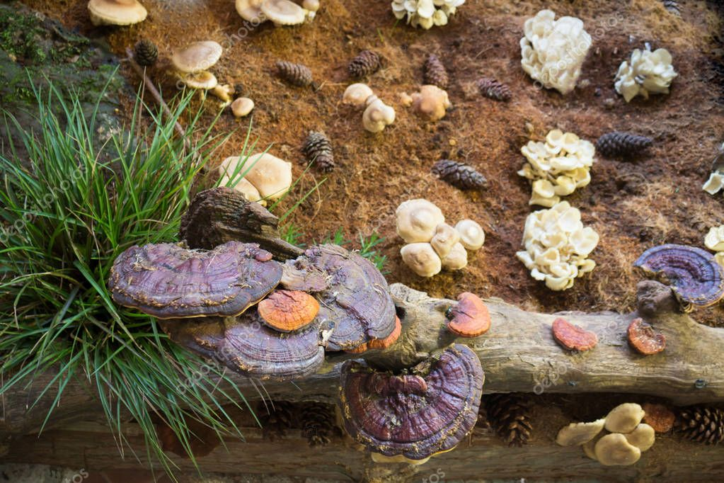 Lingzhi mushroom or Reishi mushroom at food festival