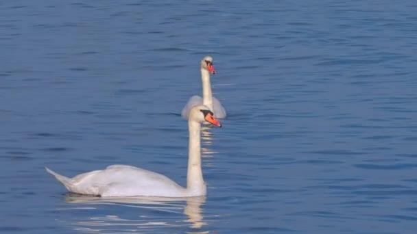 Fehér hattyúk a reggeli tó tiszta gyönyörű táj