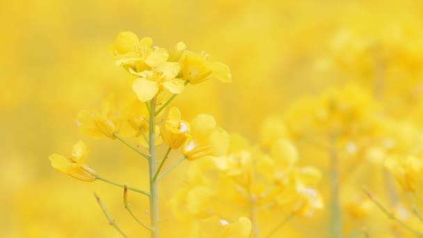 Rapeseed field, Blooming canola flowers.