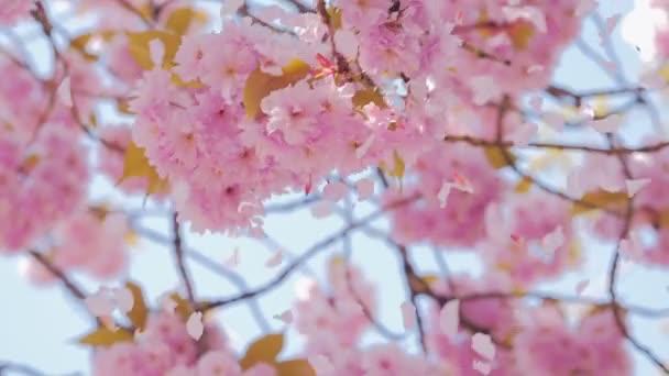 Jarní růžový sakura květ, okvětní lístky létají
