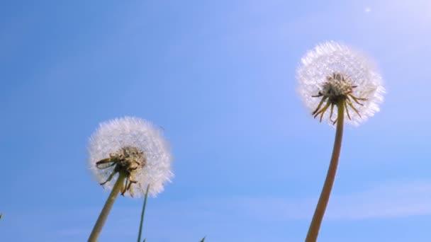 Gyermekláncfű a reggeli napfényben fúj a szélben