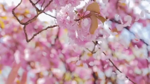 Ženské ruce tleskat Sakura květ a okvětní lístky létat ve větru