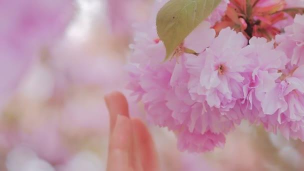 Žena, která se dotýká květů mandlového květu. Třešeň s květinami.