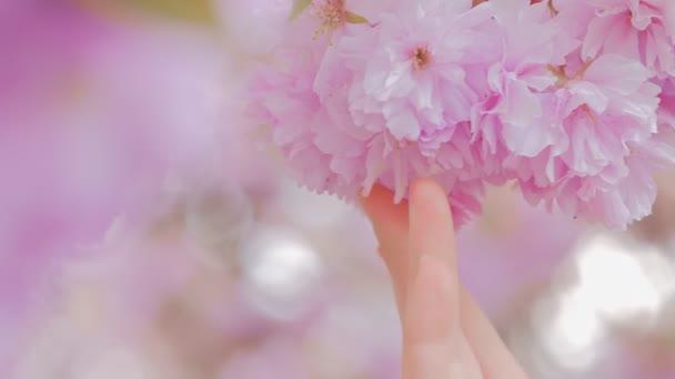Žena ruka jemně dotýká sakura květiny