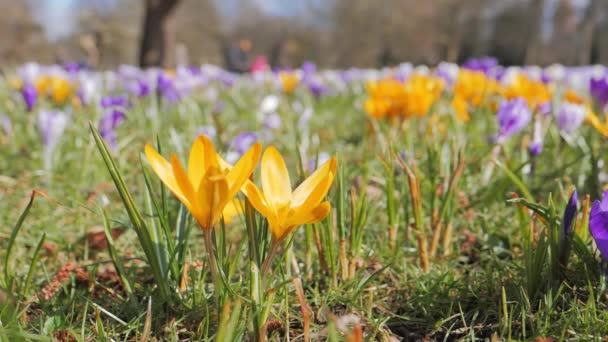 Crocus květiny kvetoucí na jaře