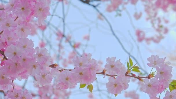 Krásný sakura strom, čerstvý květ