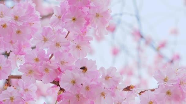 Krásný sakura strom