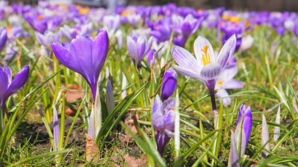 Purple Crocus flowers blooming in the spring