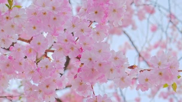 Krásná růžová sakura strom rostlina