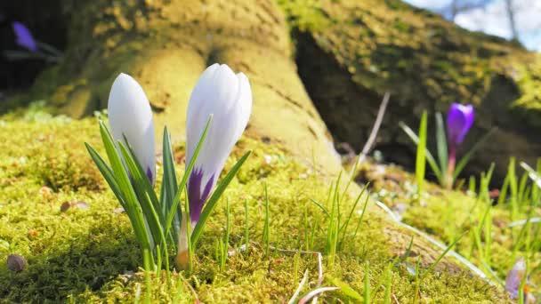 Květinový krokus v jarní krajině