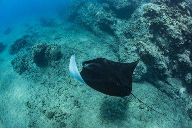 Black mantaray underwater