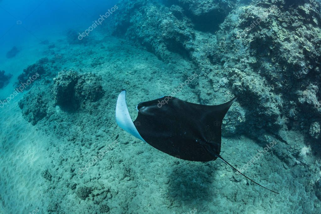 Black mantaray underwater