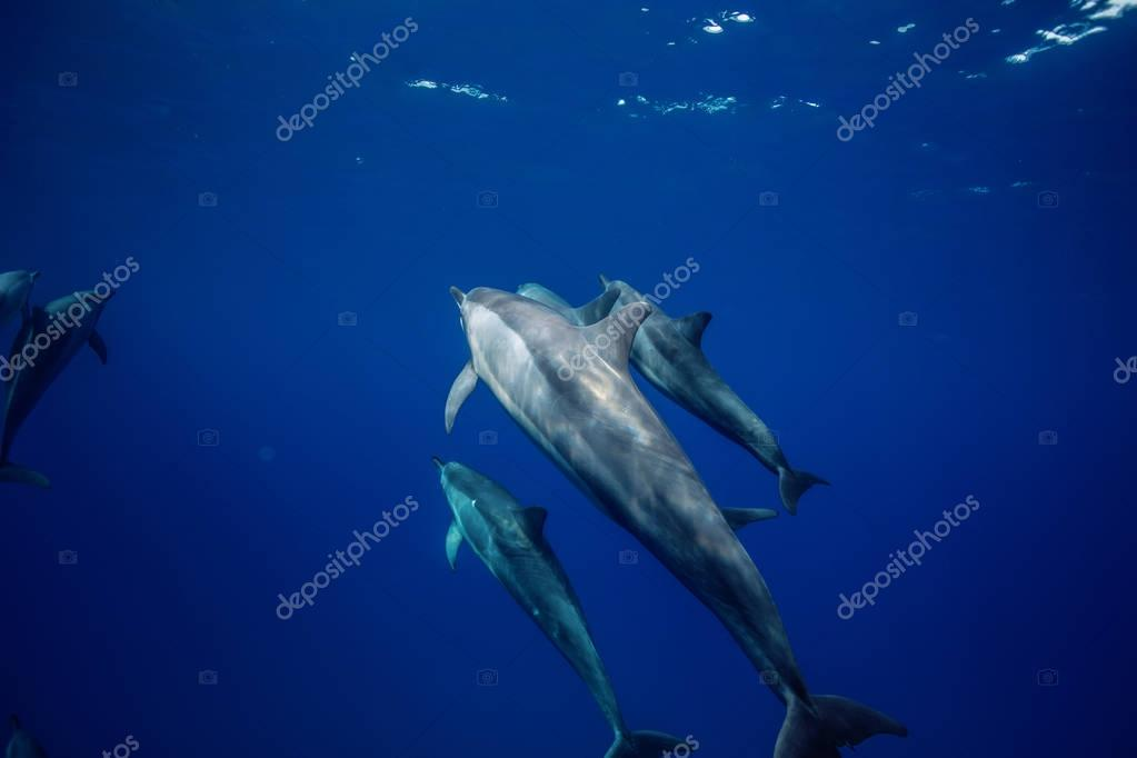 A pod of dolphins underwater