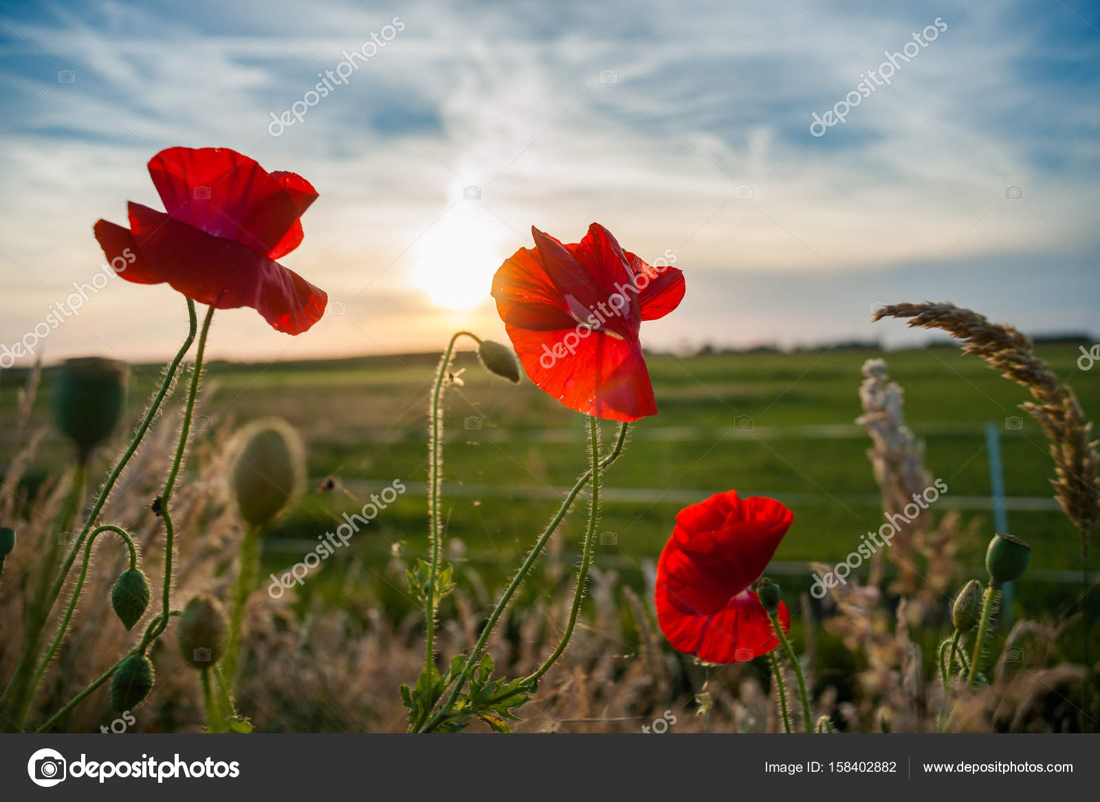 Red Field Flowers Or Poppies In The Evening Sun Stock Photo
