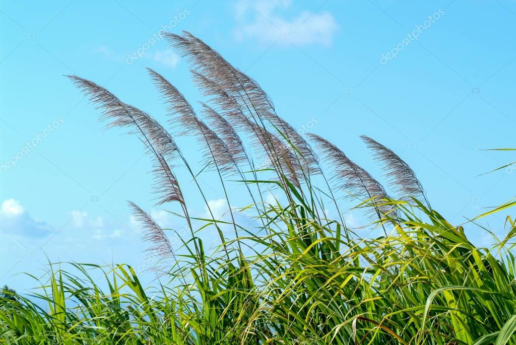 Flowers of sugar cane in the wind