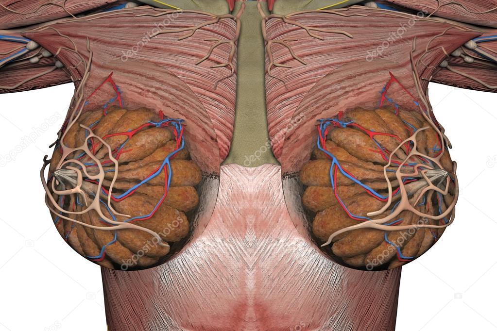 Anatomía de la mama. Render 3D — Foto de stock © petrovv #126396146