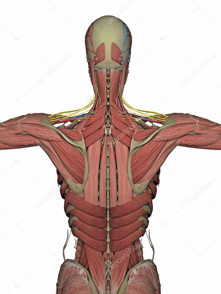 Anatomie Rücken ohne Haut 3D-Rendering — Stockfoto © petrovv #126461864