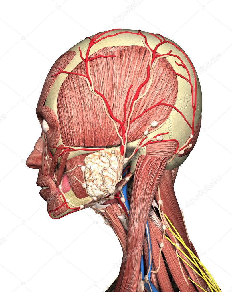 Anatomía de la cabeza vista render 3d — Fotos de Stock © petrovv ...