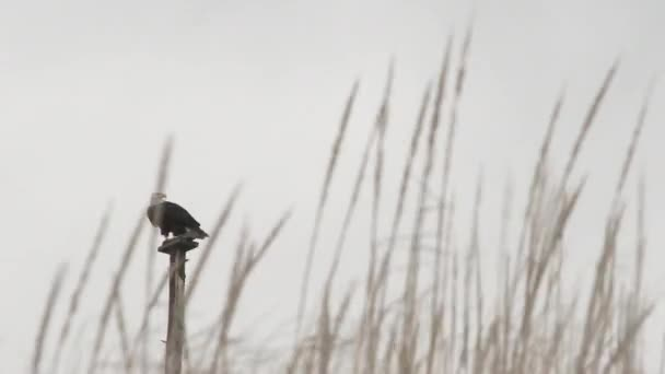 Wild bald eagle perched on pole takes flight over blowing grasses.