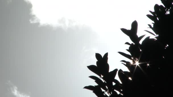 Sun shines through leaves from tree blowing in the wind before storm moves in.