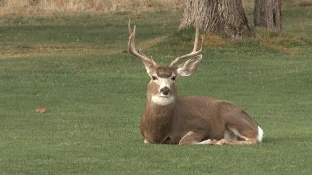 Velký dospělý jelen, který si bere náklad na poli v Oregonu.