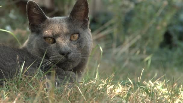 Eine müde alte russische Blaukatze liegt draußen im Gras und fühlt sich in der Hitze faul.