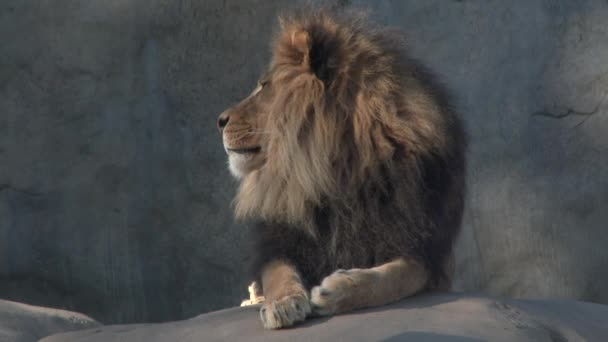 Large, adult male lion laying down looking to camera.