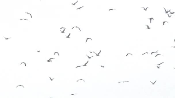 Velká skupina racků letících proti bílé obloze.