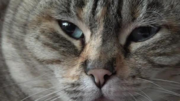 Nahaufnahme müder gestromter Katzen gähnen, 4K-Auflösung.