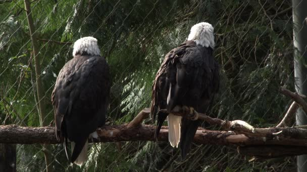Two adult American bald eagles perched on tree.