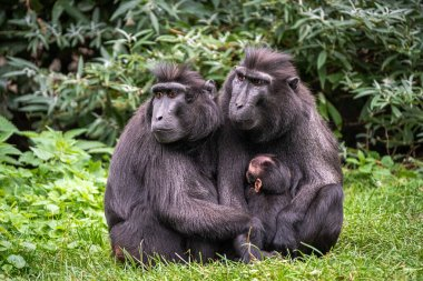 Celebes crested macaque couple sitting close together in the grass while the young is suckled by the mother