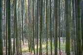 Bambuswald in Kyoto, Japan.