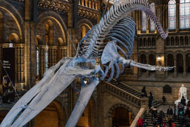 LONDON, UK - CIRCA JANUARY, 2018: Interior view of Natural History Museum with the new whale skeleton. The museum collections comprise almost 70 million specimens from all parts of the world.