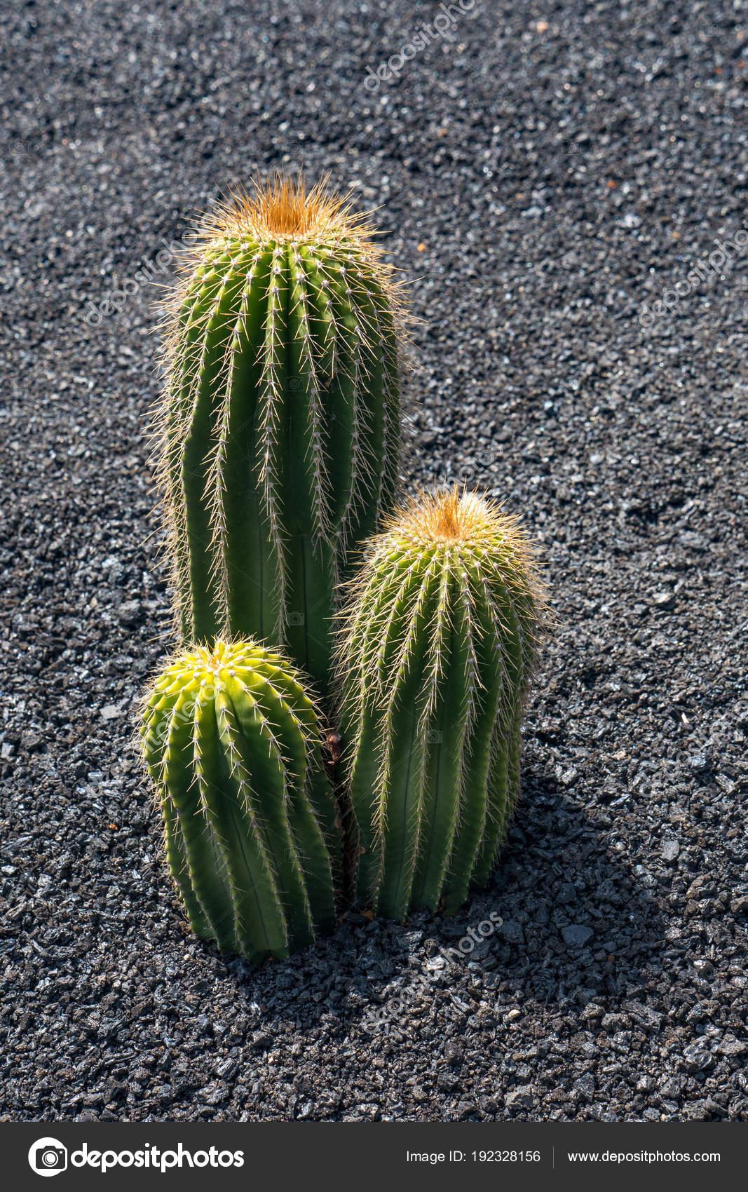 Cactus Tropical Isole Des Plantes Interieur Jardin Dans Village
