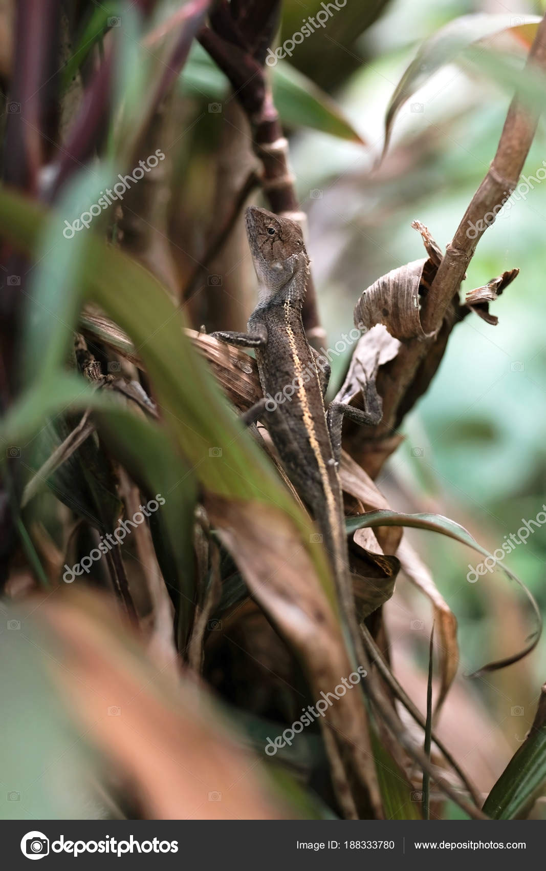 Oriental garden lizard or changeable lizard — Stock Photo ...