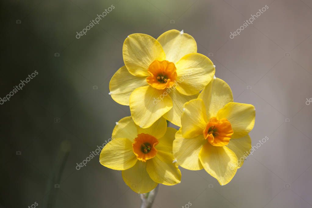 Close up on a splendid specimen of yellow narcissus