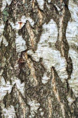 Bark of the birch.