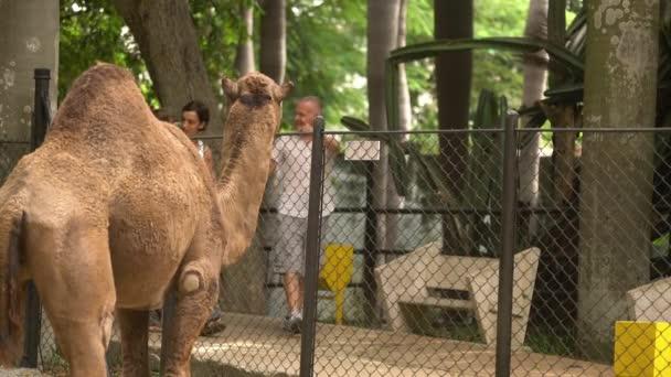 Dítě rodiče a prarodiče pěší poblíž velbloudí kleci v Zoo