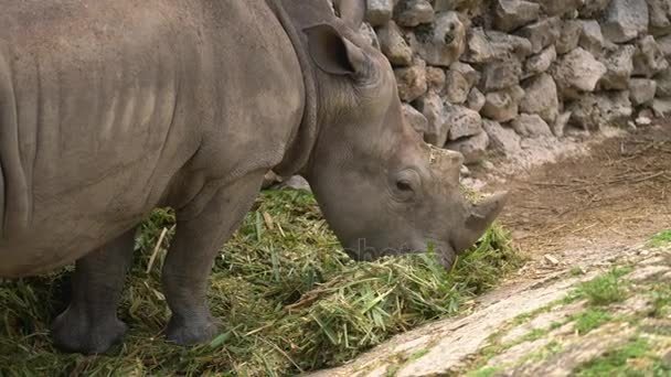 White Rhino Eating Grass In Zoo Wild Animal In Cage