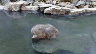 Snow Monkey Japanese Macaque At Jigokudani Monkey Park Japan Asia