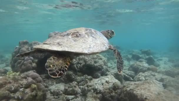 Hawksbill sea turtle (Eretmochelys imbricata), critically endangered marine reptile, swimming underwater on coral reef in shallow waters. Maldives, Asia, Indian Ocean. Wild animal, wildlife