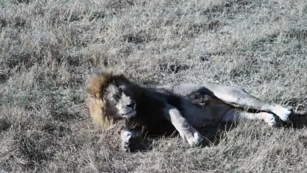 Néhány oroszlán az oroszlánok Büszkeség vadászat a reggeli napfelkelte, Safari a Nemzeti Park Afrikában