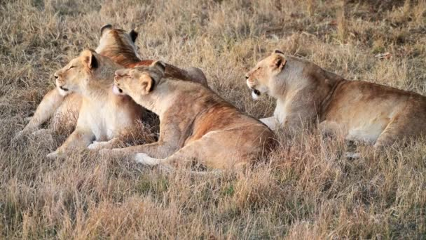 Couple of Lions in Lions Pride hunting in the morning sunrise, Safari at National Park in Africa