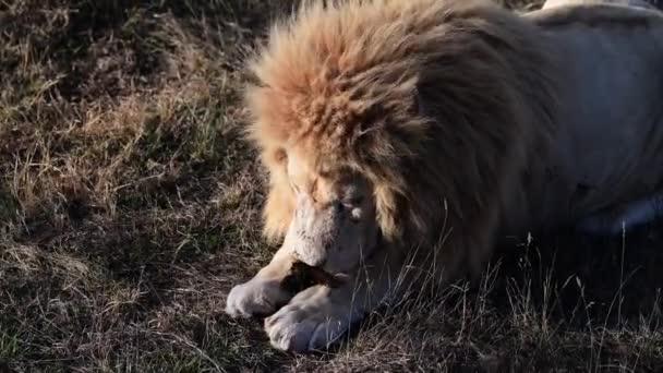 Pár lvů v pýše lvové při ranním rozbřesku, Safari v národním parku v Africe