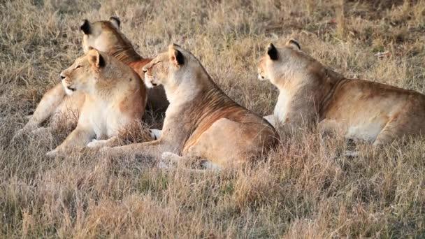 Lvice v africké Savanně na pýše lvové ráno