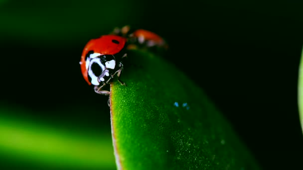 couple of red ladybug crawl on blade of grass against blurred background