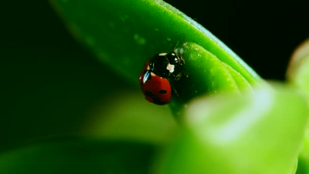 ladybug crawl on blade of grass after rain against blurred background