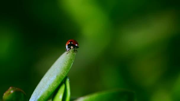 ladybug crawl on blade of grass after rain